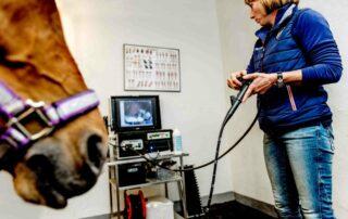 Dyrlægens vinkel - Islandske heste kan også få mavesår