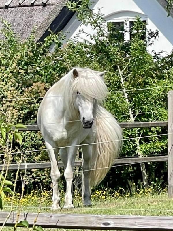 Finnbogi - islandsk hest