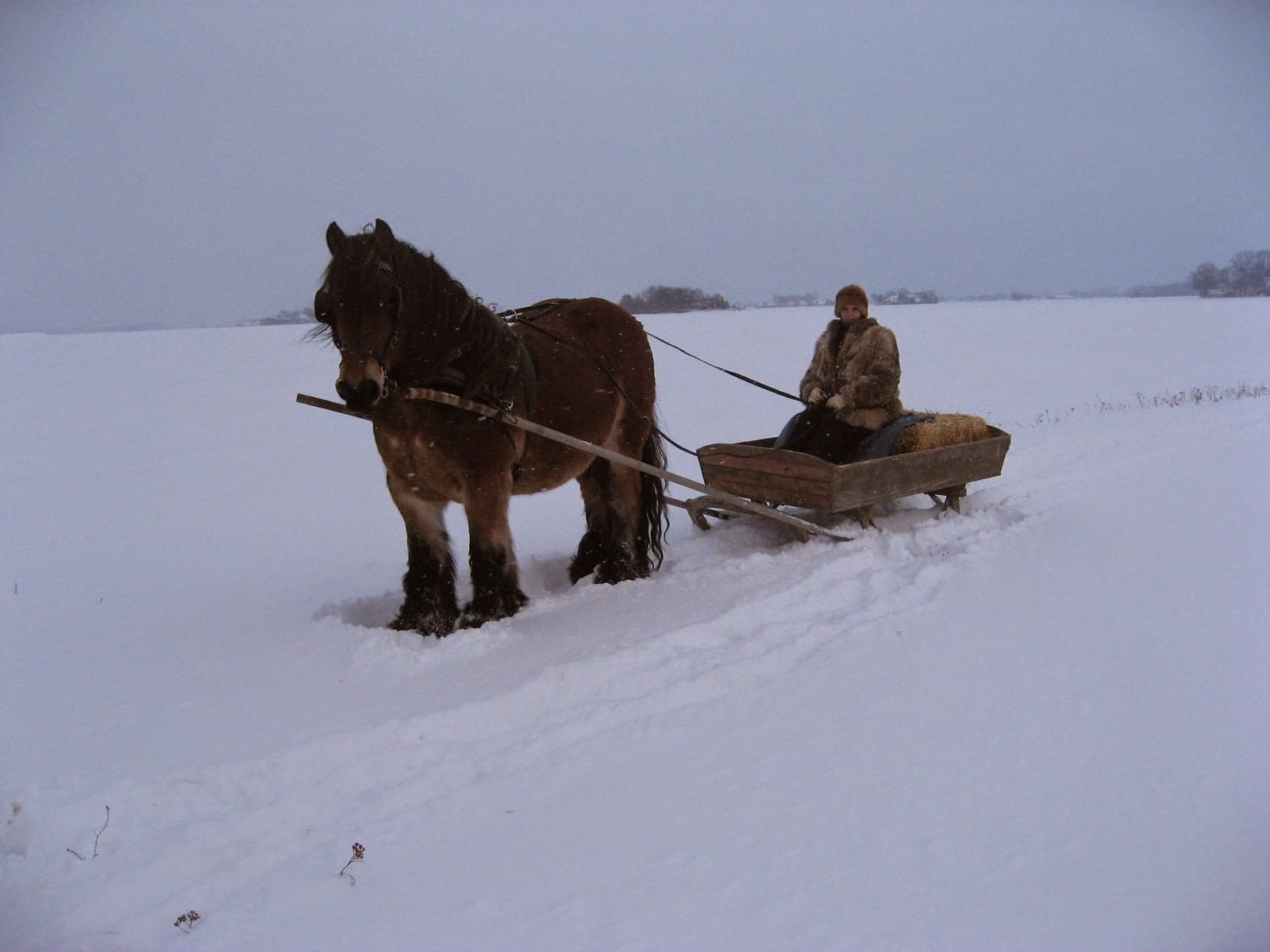 Inge Pyndt har skiftet Belgier-hestene ud med en islænder